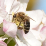 Abeille butinant dans une fleur de pommier