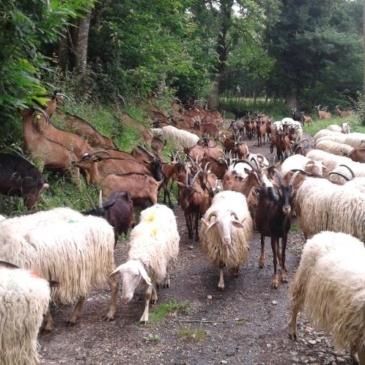 Des nouvelles de Prune et des chèvres