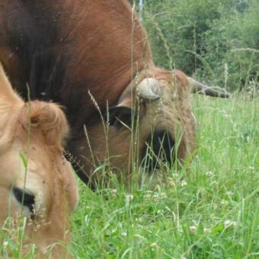 Prochaine livraison de bœuf et de veau le 19 septembre, et des nouvelles de la ferme