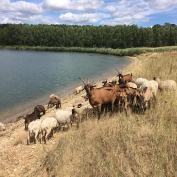 Viande d'agneau et nouvelles du troupeau de chèvres