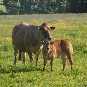 Contrats viande bovine disponibles jusqu'au 21 février inclus